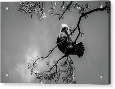 Pelican Connection Acrylic Print
