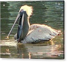 Pelican Dinner Acrylic Print