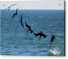 Pelican Dive 7 Photos In 2.5 Seconds Acrylic Print