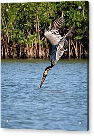 Pelican Dive Acrylic Print by Dawn Currie
