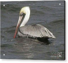 Acrylic Print featuring the photograph Pelican by Donna Brown