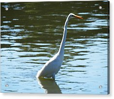 Pelican Emerging Acrylic Print