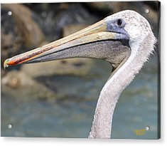 Pelican Face  That Only A Mother Could Love Acrylic Print