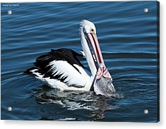 Pelican Fishing 6661 Acrylic Print