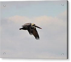 Pelican Flight Acrylic Print by Al Powell Photography USA