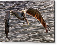 Pelican Fly-by Acrylic Print