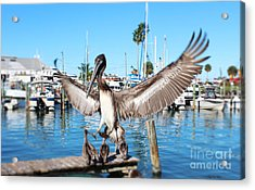Pelican Flying In Acrylic Print