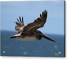 Pelican Flying Wings Up  Acrylic Print