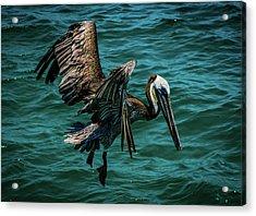 Pelican Glide Acrylic Print