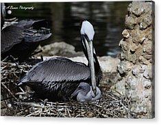 Pelican Hug Acrylic Print