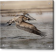 Pelican In The Air Acrylic Print