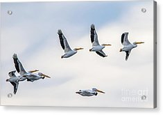 Pelican In The Air Acrylic Print by Lisa Plymell