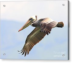 Pelican In The Sky Acrylic Print by Wingsdomain Art and Photography