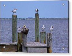 Pelican Incognito Acrylic Print