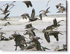 Acrylic Print featuring the photograph Pelican Migration  by Pamela Patch