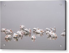 Pelicans On The Lake Acrylic Print by Carolyn Dalessandro