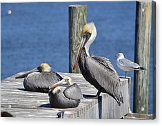 Pelican Pad With Gull Acrylic Print