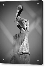 Pelican Perched Acrylic Print by Megan Verzoni