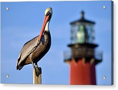 Pelican Perched Under Jupiter Lighthouse, Florida Acrylic Print
