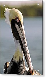 Acrylic Print featuring the photograph Pelican Portrait by Sally Weigand