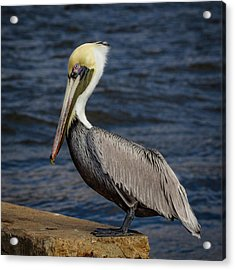 Acrylic Print featuring the photograph Pelican Profile 2 by Jean Noren
