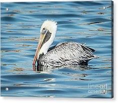 Pelican Relaxing Acrylic Print by Scott and Dixie Wiley