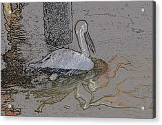Pelican Swim IIi Color Pencil Acrylic Print