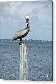 Pelican Acrylic Print by Trisha Dahm