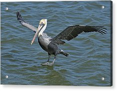 Acrylic Print featuring the photograph Pelican Walks On Water by Bradford Martin