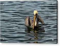 Acrylic Print featuring the photograph Pelican Wing In A  Twist by Jean Noren