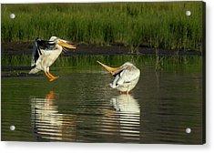 Pelicans 2 Acrylic Print
