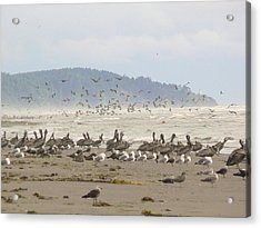 Acrylic Print featuring the photograph Pelicans And Gulls by Pamela Patch