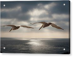 Pelicans At Sea Acrylic Print