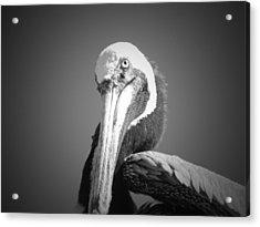 Pelican's Gaze Acrylic Print by Megan Verzoni