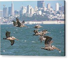 Pelicans Over San Francisco Bay Acrylic Print