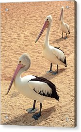 Acrylic Print featuring the photograph Pelicans Seriously Chillin' by T Brian Jones