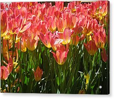 Pella Tulips Yellow Pink Acrylic Print by Peg Toliver