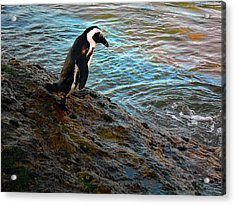 Penguin Going For A Dip Acrylic Print by Michael Durst