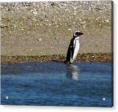 Penguin On The Beach Acrylic Print
