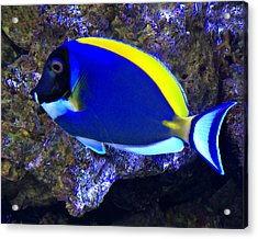 Blue Tang Fish  Acrylic Print by Kathy M Krause