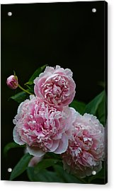Peonies  Acrylic Print by Gillis Cone