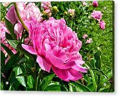 Peonies In Spring Acrylic Print