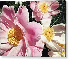 Acrylic Print featuring the photograph Peonies37 by Olivier Calas