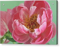 Peony Acrylic Print by © 2011 Staci Kennelly