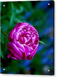 Peony Bloom Acrylic Print by Gillis Cone