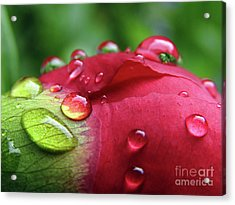 Peony Drops 2 Acrylic Print
