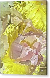 Peony Perfect Acrylic Print by Gwyn Newcombe