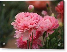 Peony Pink Ranunculus Closeup Acrylic Print