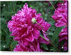 Peony Protege Acrylic Print by Alan Rutherford