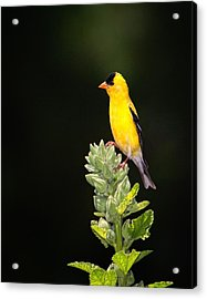 Perched American Goldfinch Acrylic Print